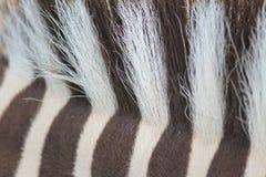 Nahaufnahmeansicht der Mähne eines Zebras Lizenzfreies Stockfoto