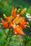 Nahaufnahmeansicht der Orangenlilie blüht und knospt im Garten gegen den unscharfen grünen Hintergrund Stockfoto