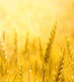 Nahaufnahmeansicht der Weizenähre Lizenzfreie Stockfotografie