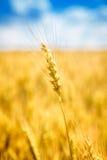 Nahaufnahmeansicht der Weizenähre Stockfotos