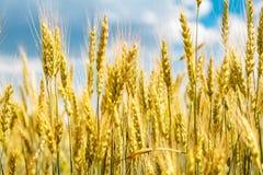 Nahaufnahmeansicht der Weizenähre Stockfoto