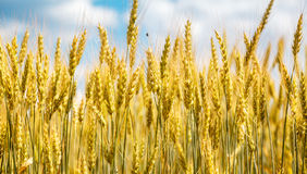 Nahaufnahmeansicht der Weizenähre Lizenzfreies Stockfoto