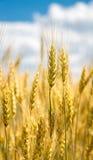 Nahaufnahmeansicht der Weizenähre Stockfotografie