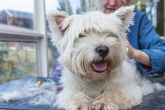 Nahaufnahmeansicht des Pflegens des West Highland White Terrier-Hundes lizenzfreies stockbild