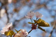 Nahaufnahmeansicht von frischen Kirschblüte-Blumen Lizenzfreies Stockfoto
