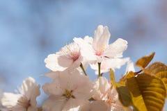 Nahaufnahmeansicht von frischer weicher rosa Kirschblüte blüht Stockbilder