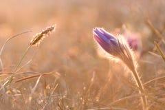 Nahaufnahmeansicht von größeren pasque Blume Pulsatilla grandis in SU Lizenzfreie Stockfotografie