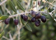 Nahaufnahmeansicht von Oliven auf der Niederlassung eines Olivenbaums Lizenzfreie Stockfotografie