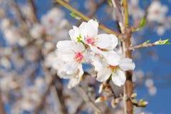 Blühendes Bündel des Aprikosenbaums Lizenzfreie Stockfotografie
