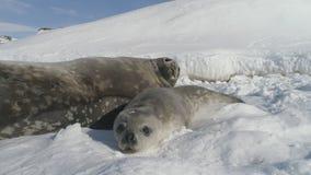 Nahaufnahmebaby, erwachsene Robbe auf die Schnee Antarktis-Land stock video footage