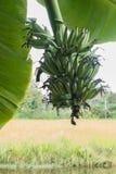Nahaufnahmebanane auf Baum mit Blatt Stockfotos