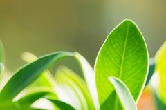 Nahaufnahmebeschaffenheit des grünen Blattes auf Sonnenlicht, natürliche Grünpflanzen u Stockbild