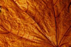 Nahaufnahmebeschaffenheit des trockenen Ahornblattes Stockfoto