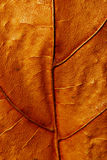 Nahaufnahmebeschaffenheit des trockenen Ahornblattes Stockbilder