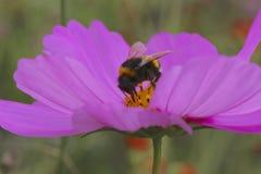Nahaufnahmebiene auf Blütenstaub Stockfotos