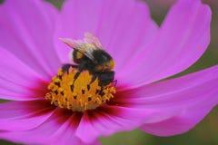 Nahaufnahmebiene auf Blütenstaub Lizenzfreie Stockbilder