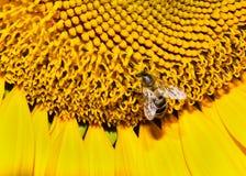 Nahaufnahmebiene auf einer Sonnenblume Stockfoto