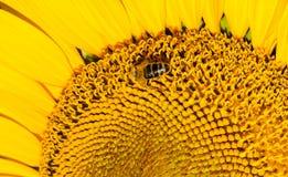 Nahaufnahmebiene auf einer Sonnenblume Stockbild