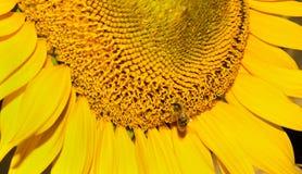 Nahaufnahmebiene auf einer Sonnenblume Lizenzfreies Stockfoto