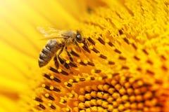 Nahaufnahmebiene auf einer Sonnenblume Lizenzfreie Stockfotografie