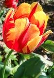 Nahaufnahmebild der hellen roten und gelben Tulpenblume Stockbild