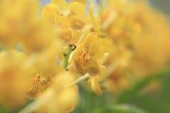 Nahaufnahmebild einer hellgelben Blüte gegen goldenen Hintergrund Stockbild