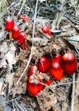 Nahaufnahmebild eines roten Pilzes in der Natur Lizenzfreie Stockfotos