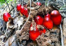 Nahaufnahmebild eines roten Pilzes in der Natur Lizenzfreies Stockbild