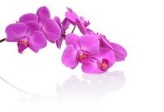 Nahaufnahmebild-Rosaorchidee mit Reflexion lokalisiert auf Weiß lizenzfreie stockfotografie