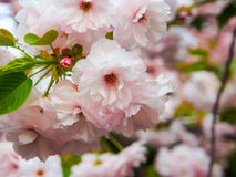 Nahaufnahmebild von Kirschblüte in Japan Lizenzfreie Stockbilder