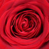 Nahaufnahmeblüten-Rotrose auf Valentinsgruß und Muttertag oder -geburt Stockfotografie