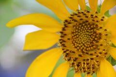 Nahaufnahmeblütenstaub der blühenden Sonnenblume, Sonnenblumen werden für ihre essbaren Samen kultiviert lizenzfreie stockfotos