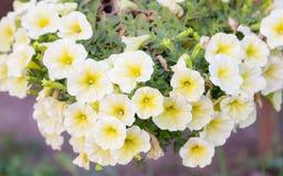 Nahaufnahmeblumen von weißen Petunien Stockfotos
