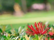 Nahaufnahmeblumenknospe roter westindischer Jasmin oder ixora Lizenzfreie Stockbilder
