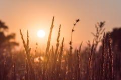 Nahaufnahmeblumenrasenfläche und Sonnenunterganghintergrund am Abend lizenzfreies stockfoto