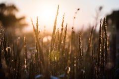 Nahaufnahmeblumenrasenfläche und Sonnenunterganghintergrund am Abend lizenzfreie stockbilder