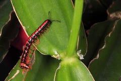 Nahaufnahmec$multi-fuß-Insekt Lizenzfreie Stockfotografie