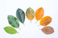 Nahaufnahmedachgesimse in der unterschiedlichen Farbe und im Alter der Jackfruitbaumblätter stockfoto