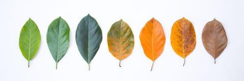 Nahaufnahmedachgesimse in der unterschiedlichen Farbe und im Alter der Jackfruitbaumblätter lizenzfreie stockfotografie
