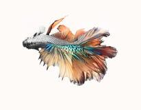 Nahaufnahmedetail des Siamesischen Kampffisches, bunte Halbmondart Lizenzfreie Stockfotos