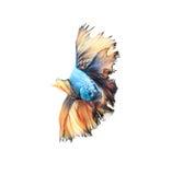 Nahaufnahmedetail des Siamesischen Kampffisches, bunte Halbmondart Stockfotos
