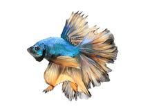 Nahaufnahmedetail des Siamesischen Kampffisches, bunte Halbmondart Lizenzfreies Stockbild