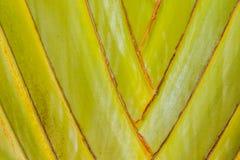 Nahaufnahmedetail des Stammes der Palme eines Reisenden (Ravenala Madagascariensis) Abstrakte Naturhintergründe Stockbild