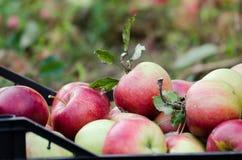 Nahaufnahmedetail eines Kastens voll der kürzlich geernteten Äpfel stockfotos