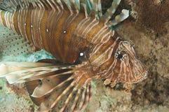 Nahaufnahmedetail von Rotes Meer Lionfish Lizenzfreies Stockbild