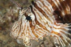 Nahaufnahmedetail von Rotes Meer Lionfish Lizenzfreie Stockfotografie