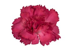 Nahaufnahmefokus Staplungsschuß einer lokalisierten roten Gartennelke mit Beschneidungspfad lizenzfreie stockfotos