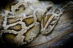 Nahaufnahmefoto birmanischer ISO der Pythonschlange (Pythonschlange molurus bivittatus) stockfotos