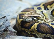 Nahaufnahmefoto der birmanischen Pythonschlange Stockbilder