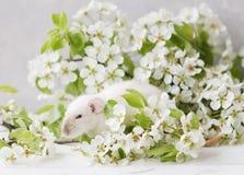 Nahaufnahmefoto der kleinen netten weißen Ratte in schönem blühendem Cherry Tree verzweigt sich Lizenzfreie Stockfotos